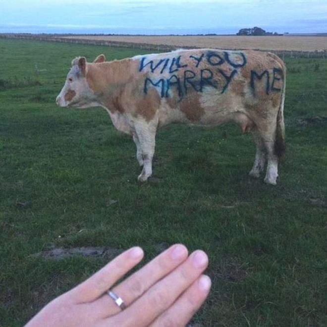 Homem Pede A Namorada Em Casamento, Através De Uma Vaca